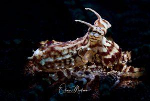 Lembeh Resort Macro Muck Dives Asiaqua