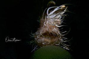 Anilao-Philippines-Hairy-frogfish-Martinoo-asiaqua