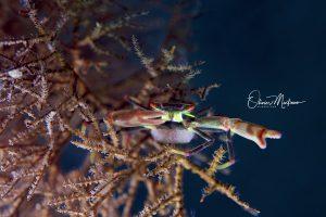 Anilao-Philippines-black-cortal-crab-Martinoo-asiaqua