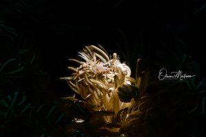 Anilao-Philippines-tiger-Shrimp-asiaqua
