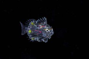 Pterois volitans (laval) - Red Lionfish By Jones Wayne