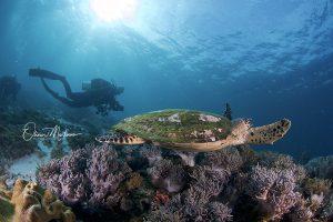 Bunaken-parc-national-indonesie-martinoo-tortue-asiaqua
