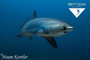 Devocean-Divers-malapascua-Requisn-Renard-Asiaqua
