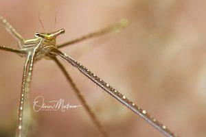 Malapascua-Island-Macro-Spider-Crab-Martinoo-Asiaqua
