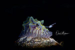 Nudibranche-Plongée-Lembeh-martinoo-asiaqua