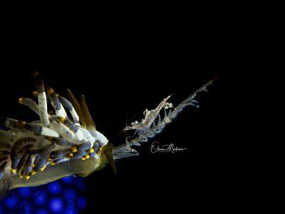 Asiaqua - Planet Dive Resort Anilao