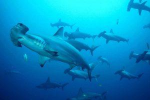 Plongee-Requins-Marteaux-Layang-Layang-Resort-Asiaqua