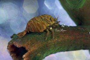 Romblon-paradis-de-la-macro-cactus-shrimp-Martinoo-Asiaqua