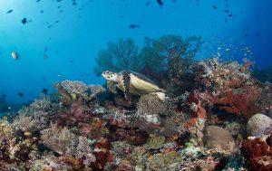 Tubbataha Reef Asiaqua Turtle © Martinoo