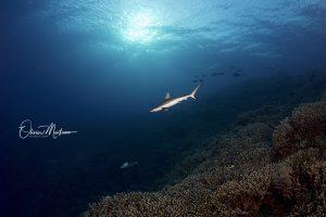 Tubbbataha-Reef-Philippines-Martinoo-requin-asiaqua.jpg