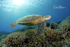Tubbbataha-Reef-Philippines-Martinoo-tortue-2-asiaqua.jpg