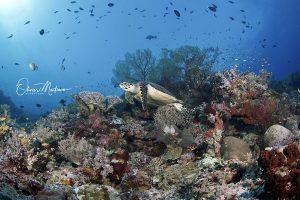Tubbbataha-Reef-Philippines-Martinoo-tortue-asiaqua.jpg
