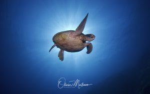 Tubbataha Reef Asiaqua Tortue Solo © Martinoo